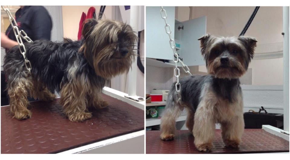Le toilettage du chien et du chat toulouse quelques photos - Coupe de poils pour yorkshire ...
