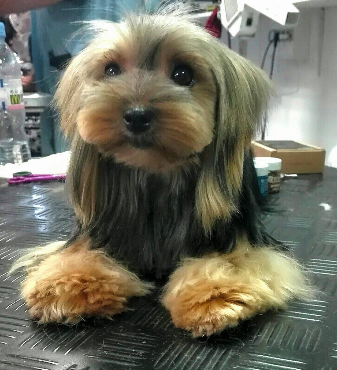Formation sur les coupes asiatiques aux 6 os d 39 or for Salon toilettage chien